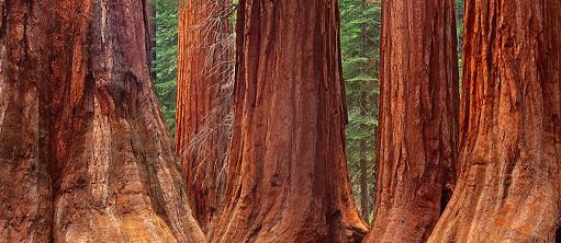 the-redwoods-in-yosemite-national-park