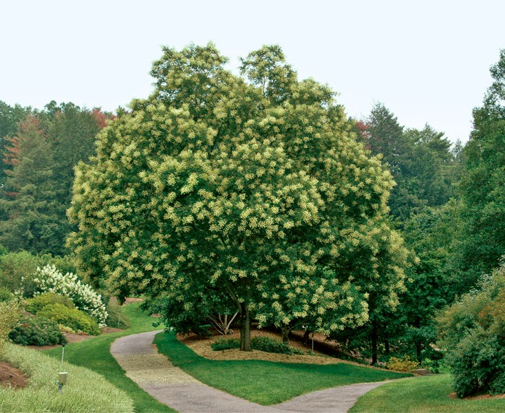 Pagoda abacus chinese medicine - Fastest growing ornamental trees ...